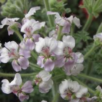 Пеларгония кортузолистная (Pelargonium cortusifolium)
