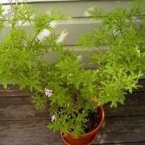 Пеларгония розовая (Pelargonium radens)