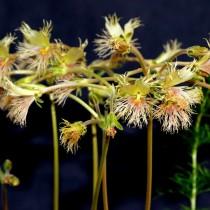 Пеларгония Боукера (Pelargonium bowkeri)