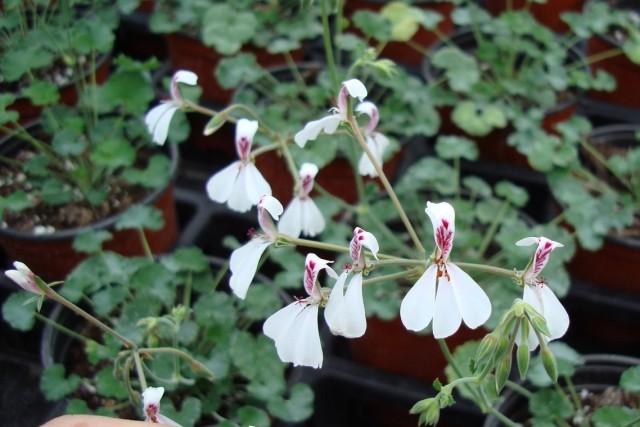 Пеларгония дихондролистная (Pelargonium dichondraefolium)