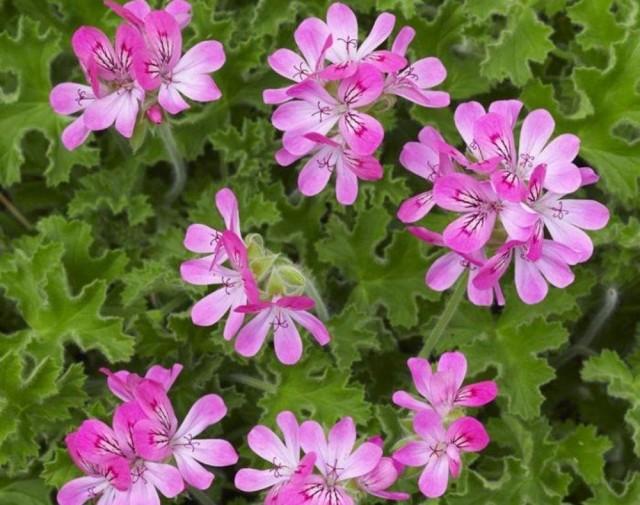 Пеларгония головчатая (Pelargonium capitatum)