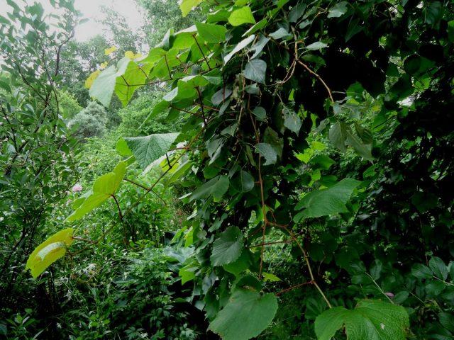 Сначала мой амурский виноград (Vítisamurensis) заплёл забор, потом забрался на тополь и свешивается уже оттуда