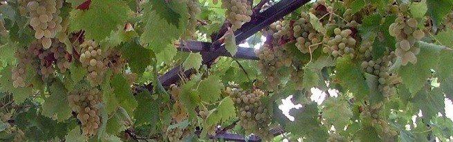 Виноград на балконе - собираем урожай, не выходя из квартиры