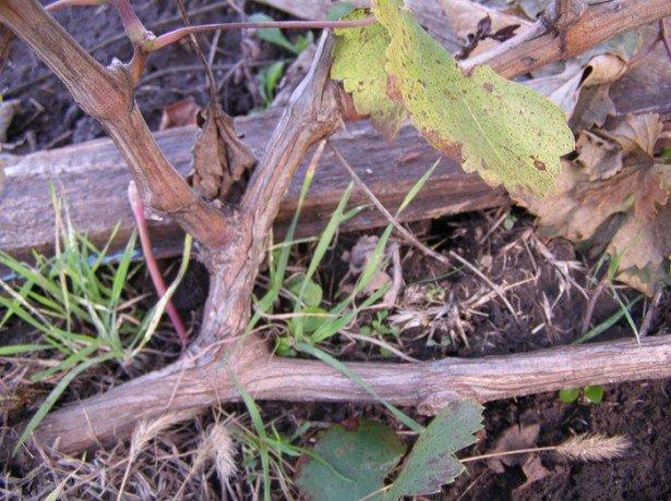 Как подготовить к зиме виноград и повысить его зимостойкость?