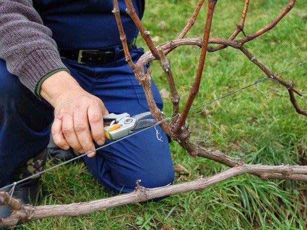 Важные процедуры перед тем как утеплить виноград на зиму