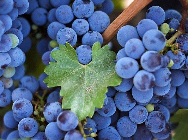 Чем полезен виноград при различных заболеваниях? фото