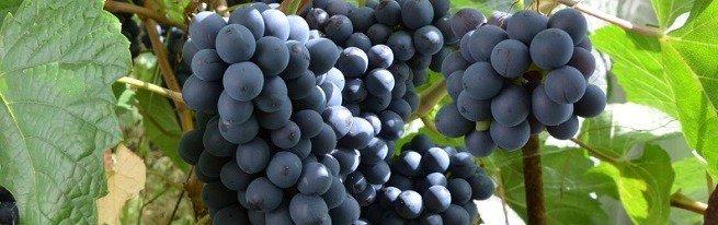 Так уж ли невозможен виноград в Сибири?