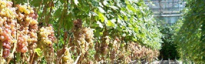 Виноград в теплице – особенности посадки и ухода