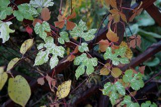 Лист виноградовника железистого (Ampelopsis glandulosa var. brevipedunculata) невероятно красив, особенно в сочетании с ярко-малиновыми побегами