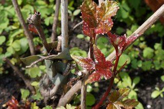 В средней полосе виноградовник железистый ежегодно заново отрастает от корня