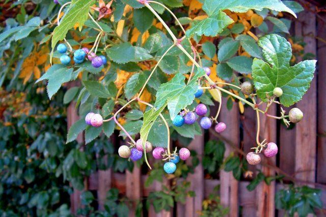 Ягодки ампелопсиса хамелеоны: у только что завязавшихся плодов светло-зеленый цвет, затем они приобретают нежно-розовый и сиреневый оттенок, после - удивительный бирюзовый