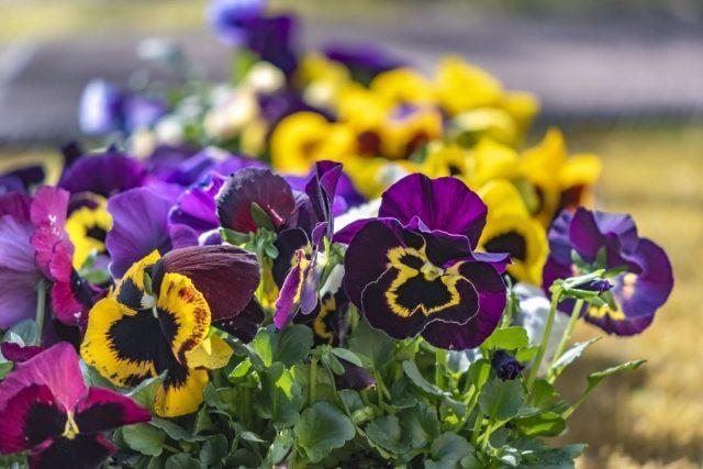 Благодаря усилиям селекционеров, сегодня можно встретить виолу Виттрока самых невероятных расцветок