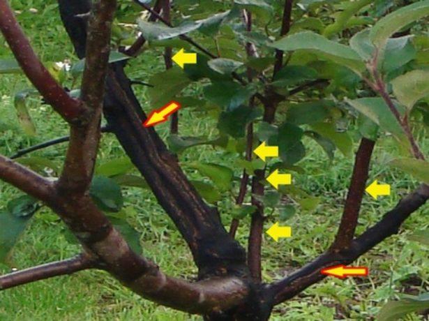 Волчкина дереве