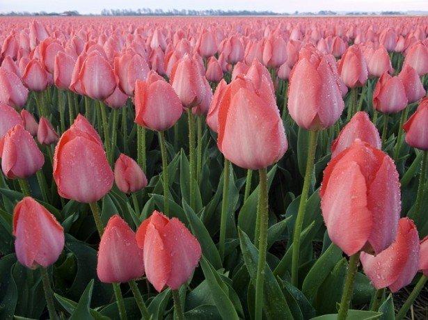 На фото голландские тюльпаны