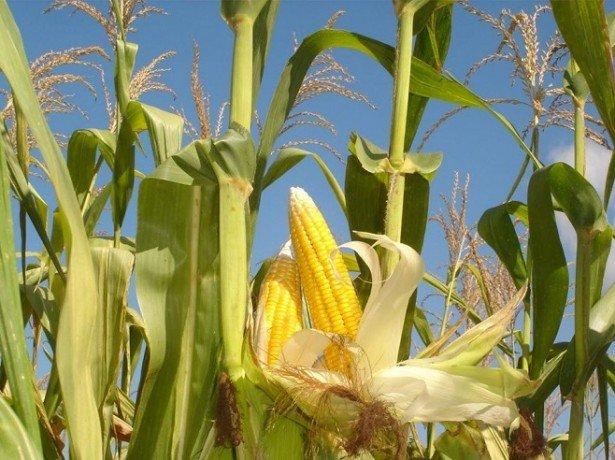 На фотографии кукуруза