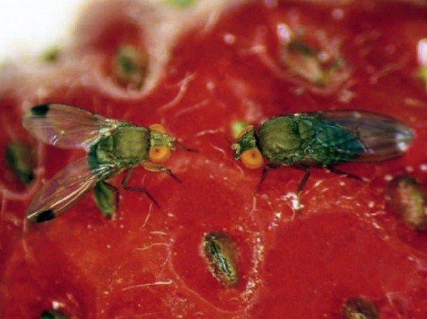 Какие вредители малины наиболее опасны? фото