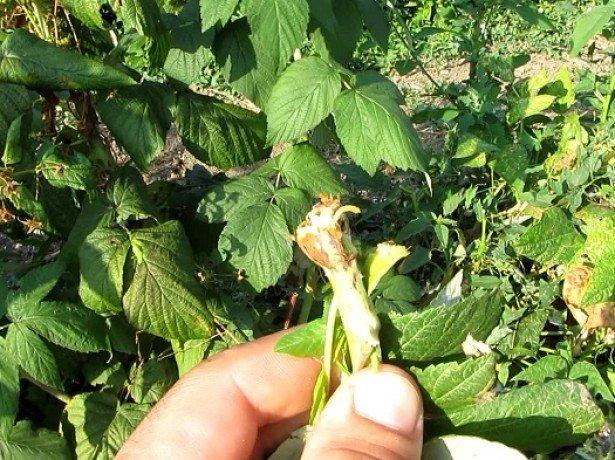 Профилактическая обработка малины от вредителей