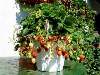 Земляника ананасная, или земляника садовая (Fragaria × ananassa) «Гирлянда»
