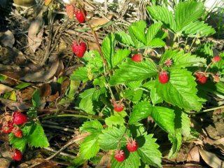 Земляника ананасная, или земляника садовая (Fragaria × ananassa) «Руяна»