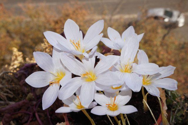На ярком солнце крокусы широко открывают цветки