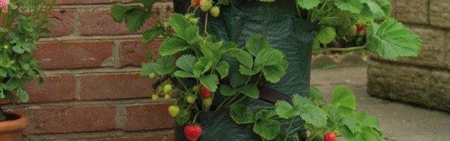 Выращивание клубники в мешке – насколько эффективен этот метод?