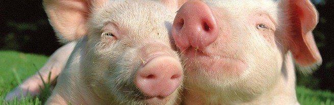 Выращивание свиней на личном подворье, что нужно учесть