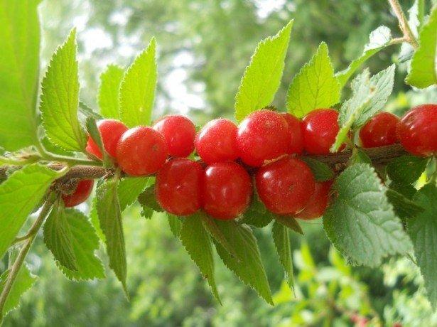 Фото вишни войлочной