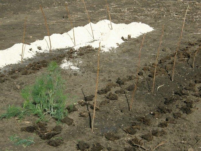Фотография посадки ежевики