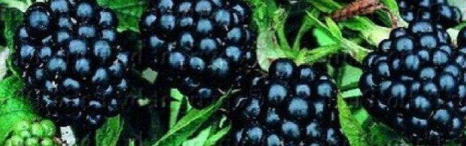 Садовая ежевика - выращивание нетрудное, а урожаи высокие