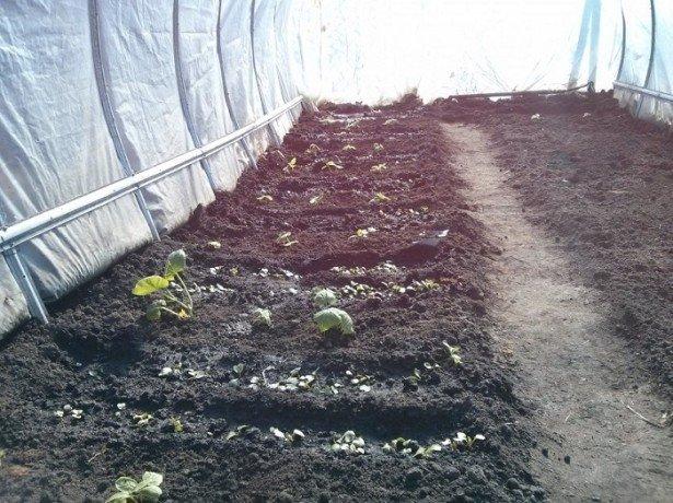 Подготовка почвы для посадки редиса в теплице