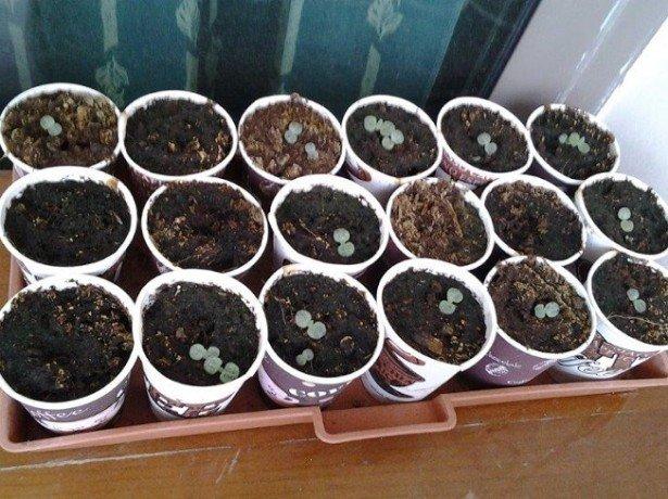 Размножение черники семенами