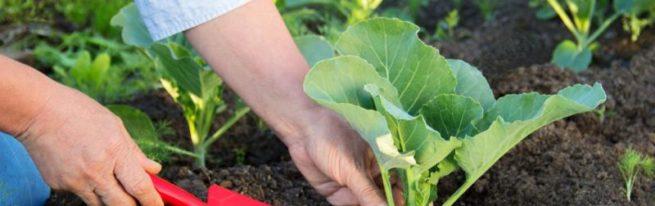 Капуста из рассады: как успешно высаживать её в открытый грунт