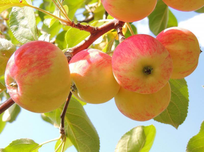 Почему опадают недозревшие яблоки и как с этим бороться