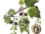 Черносмородинный ягодный пилильщик