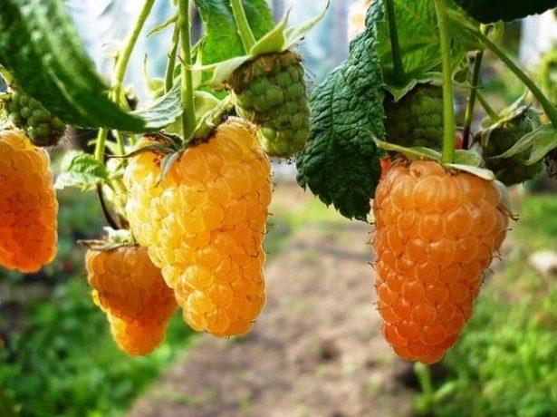 Ягоды малины Оранжевое чудо