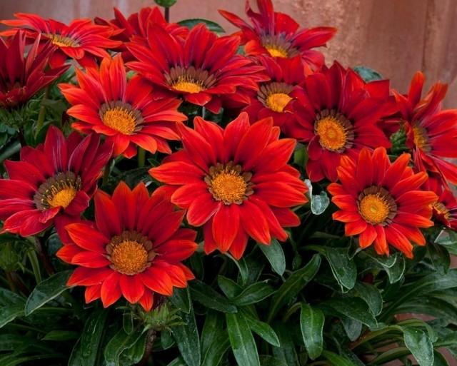 Гацания предпочитает специальные удобрения для красивоцветущих растений