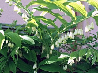 Купена душистая (Polygonatum odoratum)