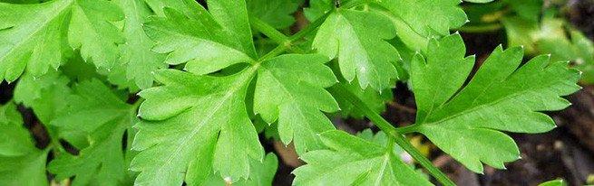 Зеленая петрушка на подоконнике – как вырастить петрушку семенами и корнеплодами