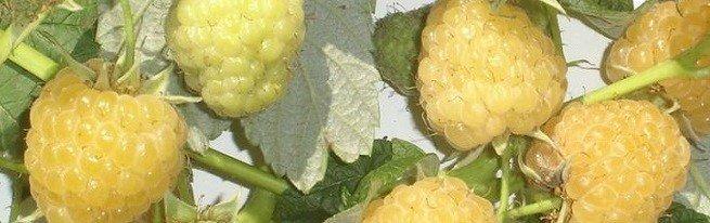 Желтая малина для любителей крупных сладких ягод