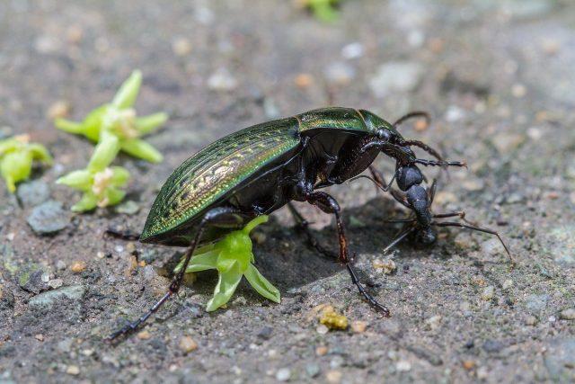 Жужелица поймала муравья