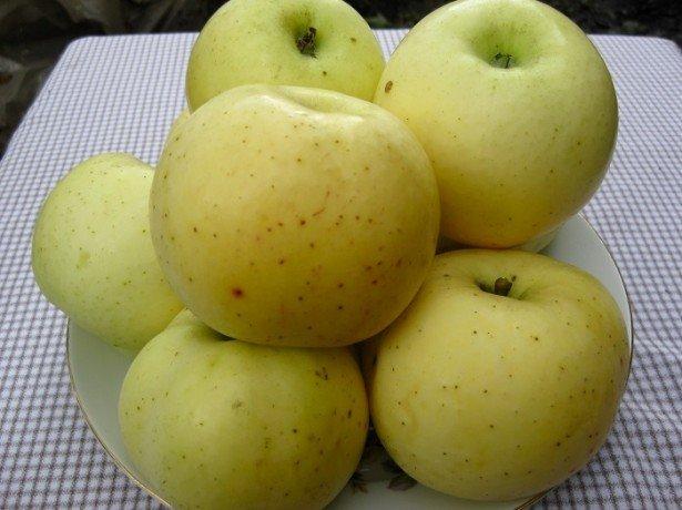Фото сорта яблони Антоновка