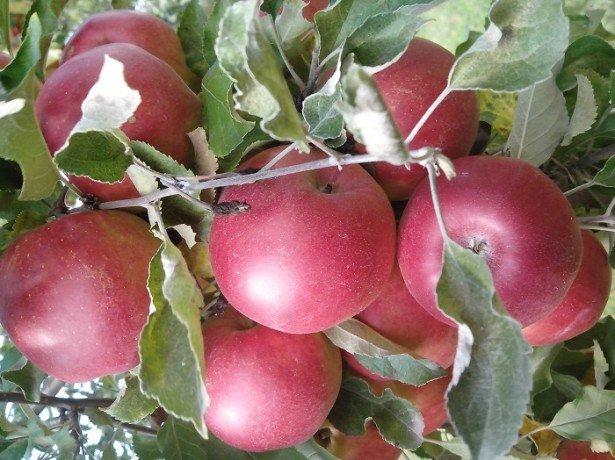 На фото яблоки Джонатан